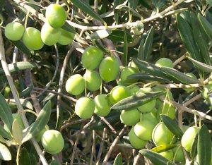 https://meganisinews.files.wordpress.com/2010/11/olive_tree.jpg?w=300